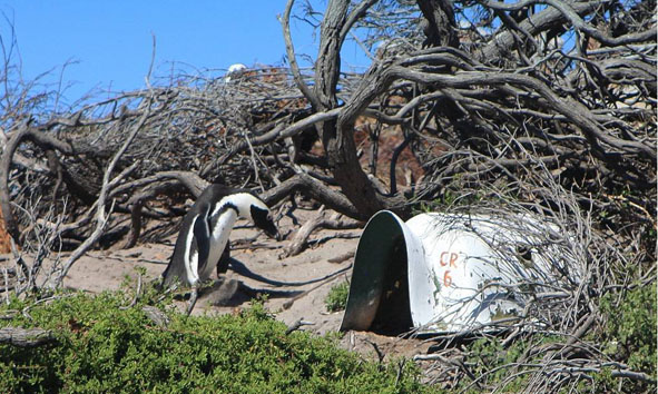 African Penguin with Artificial Penguin home - Credit Dyer Island Conservation Trust